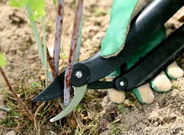 Какими способами можно обрезать смородину осенью