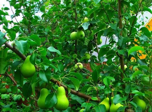 Качественный урожай с помощью весенней прививки яблонь