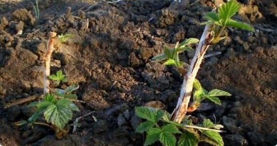 Правильный уход за малиной осенью - советы опытных агрономов